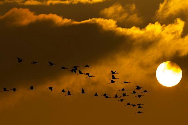 Hortobágy, 2015. október 22. Szürke darvak (Grus grus) repülnek naplementekor a Hortobágy felett, az Elepi tóegység térségében 2015. október 21-én. A madarak három jelentõsebb európai vonulási útvonala közül az egyik Magyarországon vezet keresztül, és kontinensünk egyik legnagyobb darugyülekezõ helye a Hortobágyi Nemzeti Park területén található. MTI Fotó: Czeglédi Zsolt